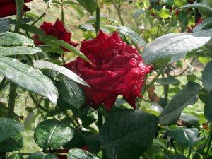 Rosa Roja. Foto: Toñi Soto